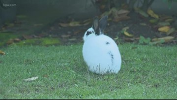 'There's too many around here': Feral rabbits takeover Northeast Vancouver