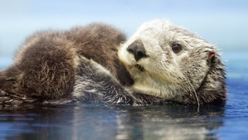 Plan floated to return sea otters to the Oregon Coast