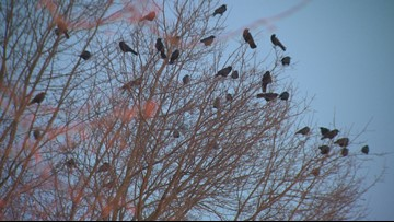 'It's like there's thousands of them': Crows return to downtown Portland