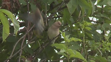 Grant's Getaways: The science of songbirds