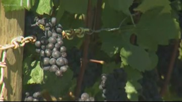 Rain, frost forcing Oregon wineries to make tough decisions