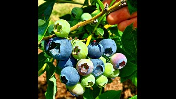 Judge halts 50% pay hike for blueberry pickers for now