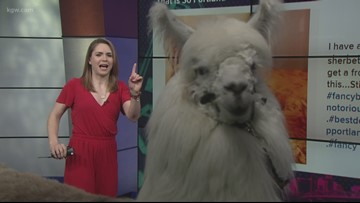 Watch a llama photobomb the show: That is So Portland