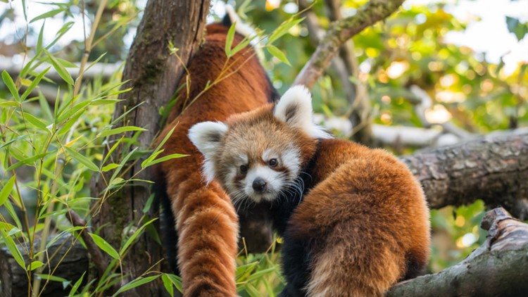 Red pandas Mei Mei, Pabu leaving Oregon Zoo to move to Montana