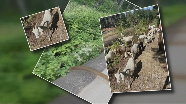 PGE uses goats to clear brush along pipeline