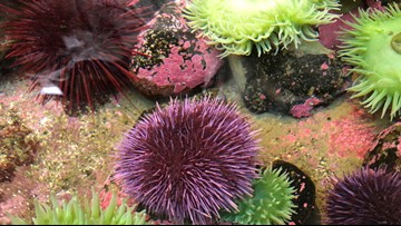 West Coast sea urchins take over kelp beds, hurting fisheries