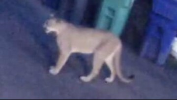 Cougar spotted in Dunthorpe neighborhood south of Portland