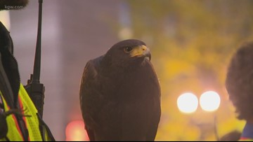 Crowd watches hawks scare away crows in downtown Portland