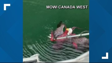Watch: Fishermen rescue eagle from octopus near Vancouver Island