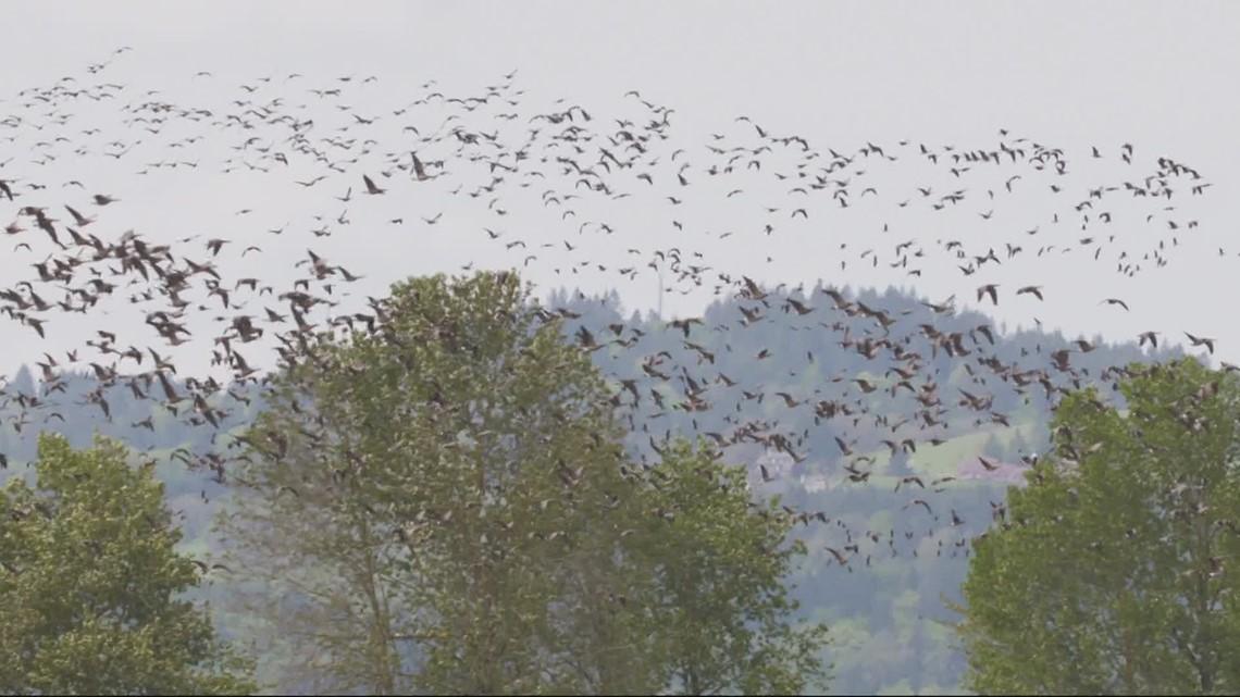Capturing flocks throughout Oregon