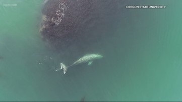 Oregon State researchers using whale poop to study ocean