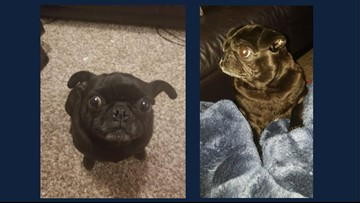 Have you seen this pug? Animal shelters seek return of lost dog