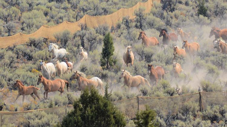 Let them roam or round them up? Controversy surrounds wild horse gathers in Eastern Oregon