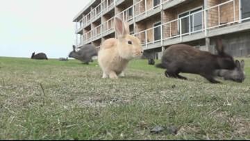 Targeting rabbits, Cannon Beach bans feeding wildlife