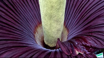 Everything you need to know about the corpse flower