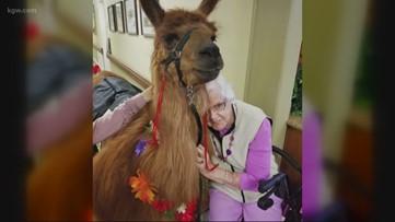 Beloved therapy llama Rojo dies