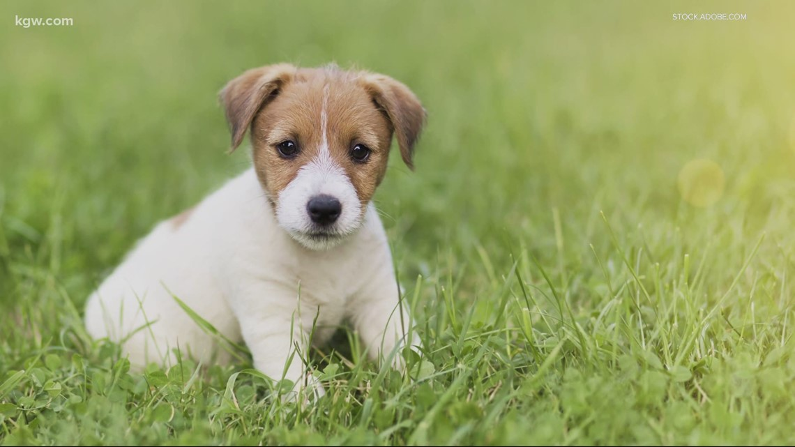 Puppy scams spike in pandemic
