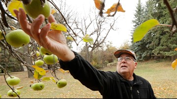 Botanists scour aging orchards for long-lost apple varieties
