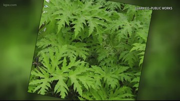 Dangerous giant hogweed plant spotted in Clark County