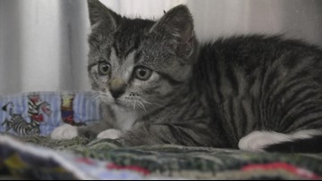 Raw video: Kitten on the mend after being covered in foam, left in trash bin