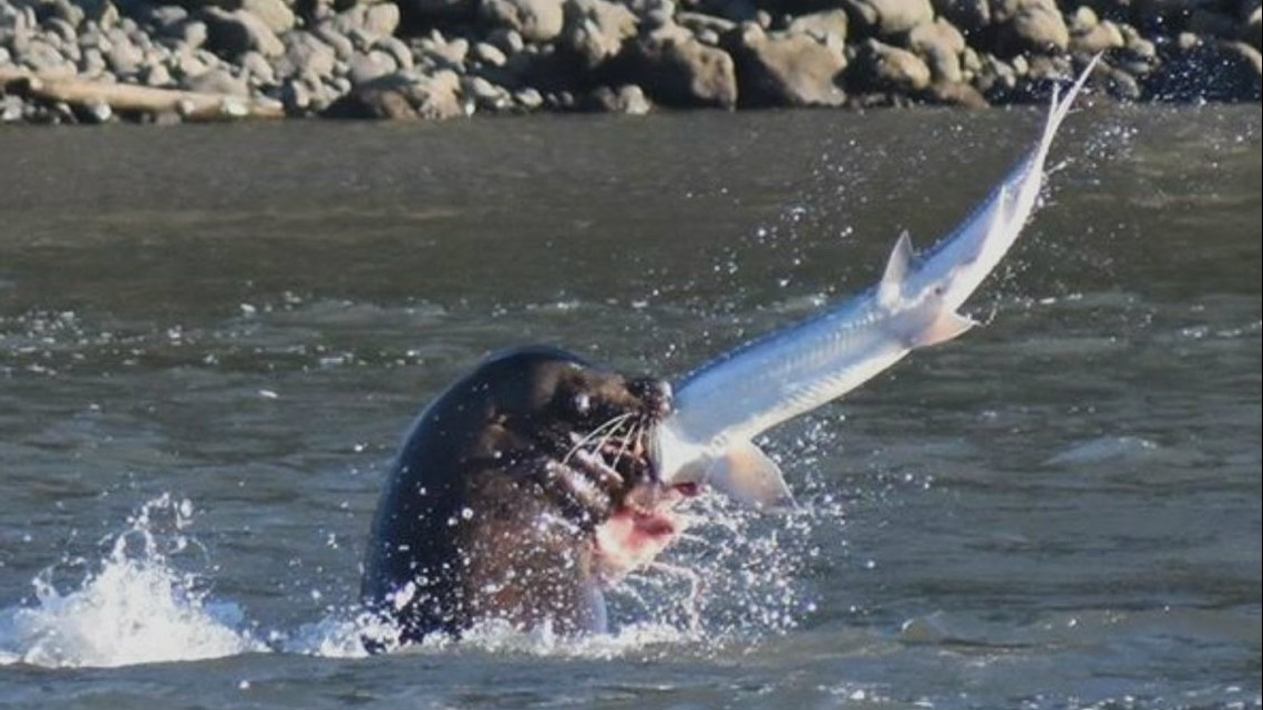 Sea lions continue to eat big fish near Willamette Falls