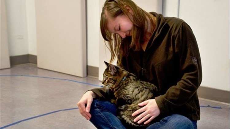 A cat displays insecure attachment behavior by sitting in researcher Kristyn Vitale's lap in the Human-Animal Interaction Lab at Oregon State University.