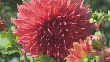 Out and About with Drew Carney: Swan Island Dahlia Festival near Canby