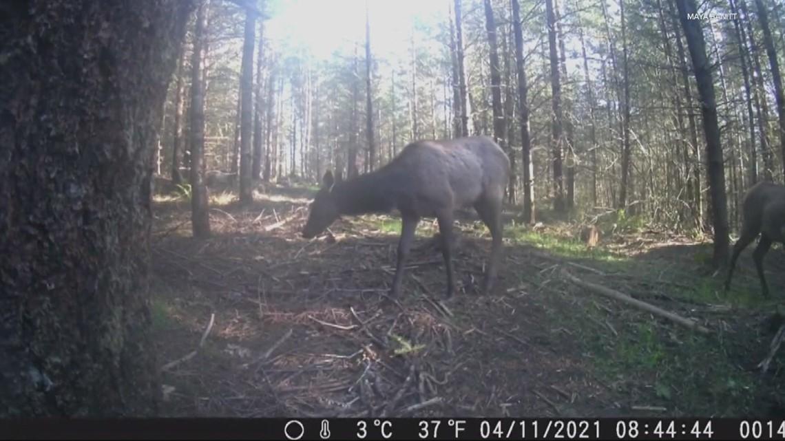 Elk steals wildlife camera in North Plains