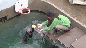 Juno the dunking sea otter at the Oregon Zoo