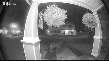 Watch: Cougar caught on camera in Sandy neighborhood