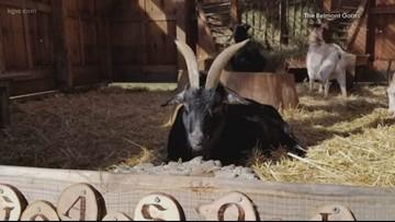 Belmont goats make 1st public appearance since move to N. Portland