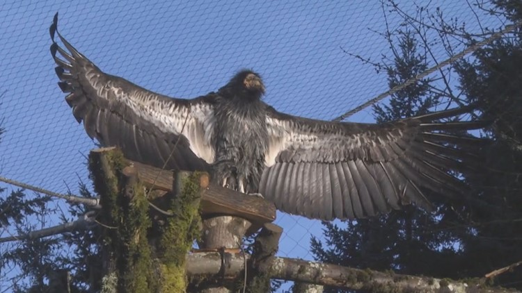Wind farm partners with Oregon Zoo to protect endangered condors
