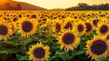 Hood River U-Pick Sunflower Festival begins