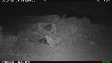 6 wolf pups caught on trail cam in Mount Hood area