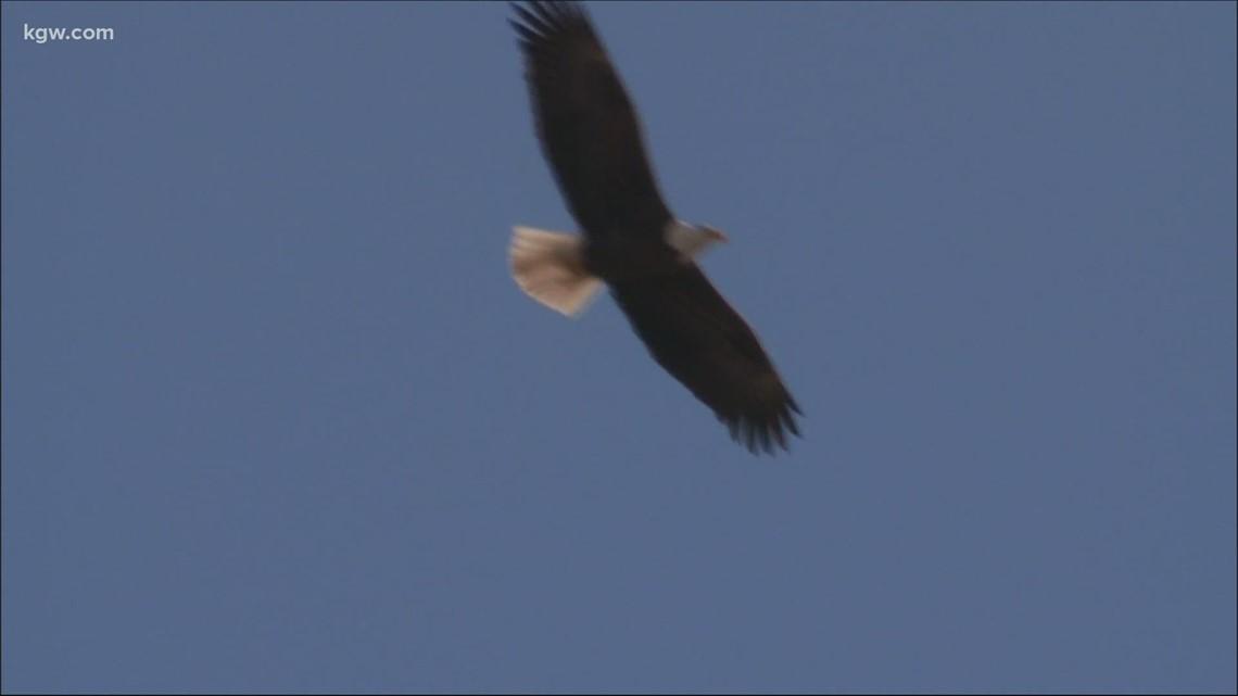 Grant's Getaways: Eagle fly-out in Oregon's Klamath Basin