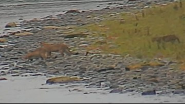 Four cougars caught on nature camera along Cowlitz River