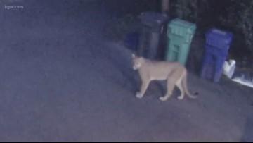 2nd cougar sighting in Tryon Creek area near Dunthorpe, Lake Oswego