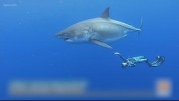 Researchers swim with huge great white shark in Hawaii.
