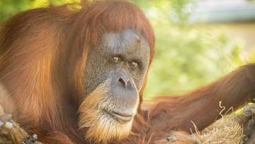 Oregon Zoo celebrates Inji's 60th birthday, believed to be world's oldest orangutan