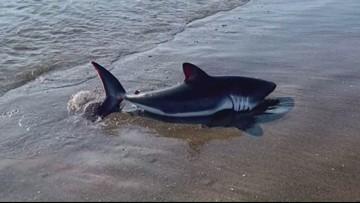 Beached shark scares families on Oregon Coast