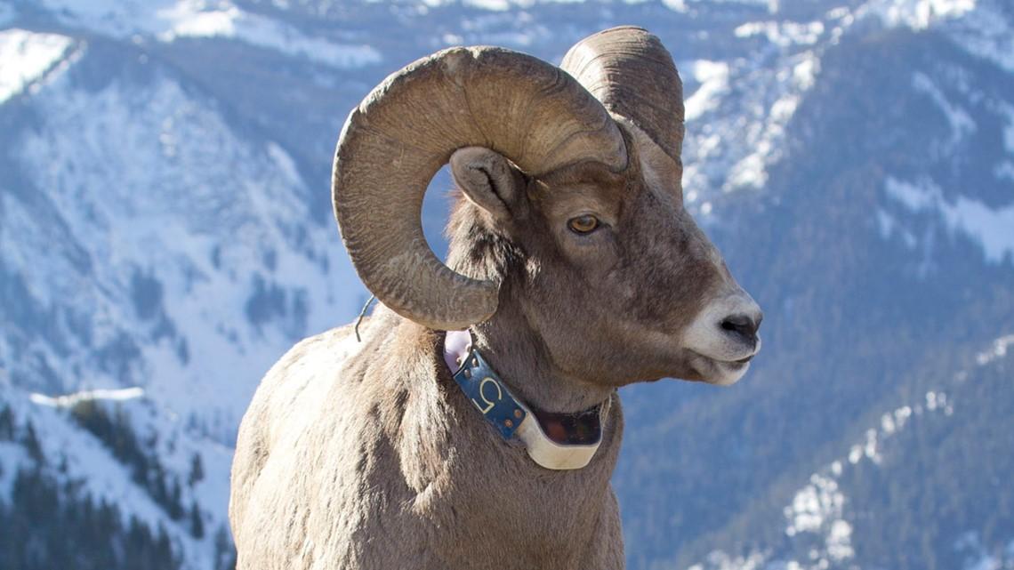 $3,500 reward for information about bighorn sheep poaching in Eastern Oregon