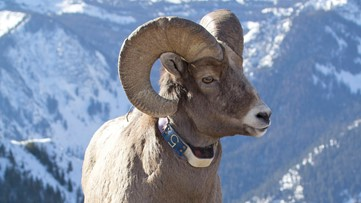 $3,500 reward for information about bighorn sheep poaching in Eastern Oregon