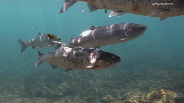 Salmon are sick and dying in Columbia River due to heat