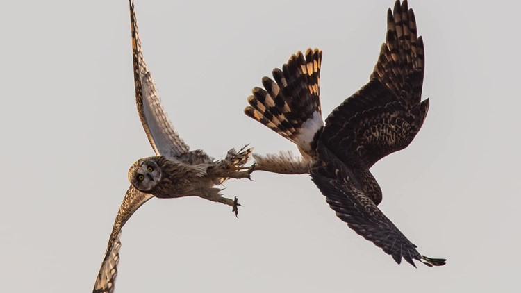 Mid-air fight between owl and hawk caught on camera in Washington