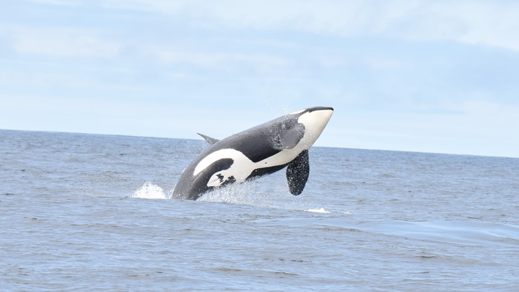 southern resident orcas killer whales
