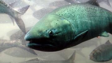 Alaska salmon deaths blamed on record warm temperatures