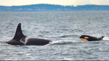 Whale researchers identify new orca calf swimming with pod