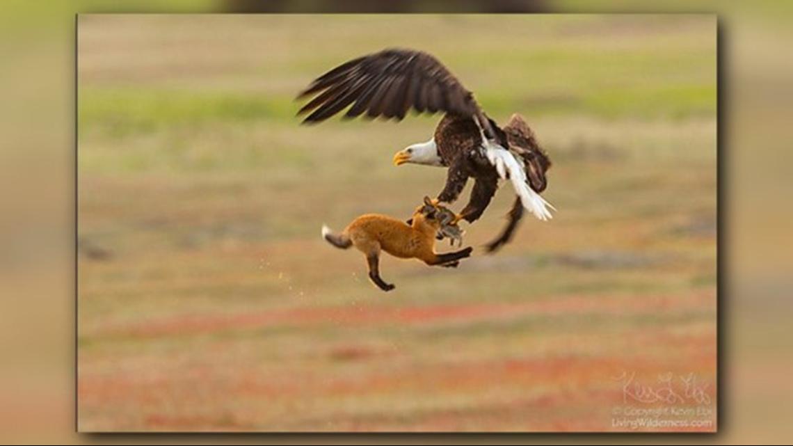 Epic battle between eagle, fox and rabbit on San Juan Island