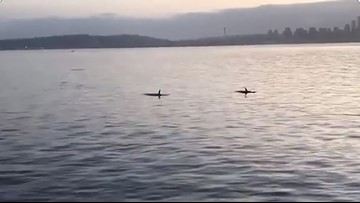 Orcas spotted from ferry on Washington's Puget Sound