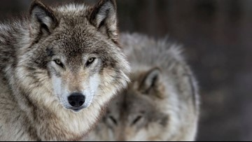 Wolves making faster comeback than expected in Washington state